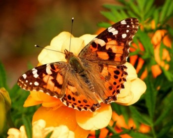 painted_lady_butterfly_vanessa_cardui_insect_219780
